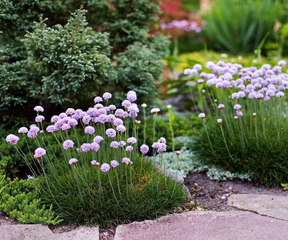 ogród-przed-domem-byliby-szczypiorek-ozdobny
